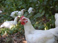 Boskippen bij biologische vleesboerderij Zuuver